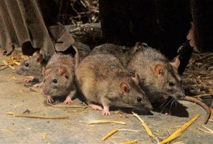 Профессиональное уничтожение грызунов в СПб ─ быстро и действенно