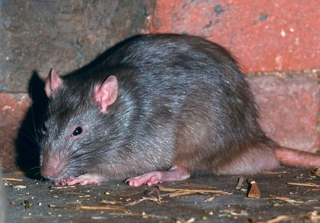 уничтожение крыс в спб