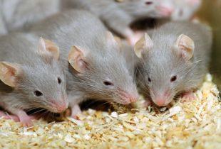 Как избавиться от мышей в квартирах и частных домах?