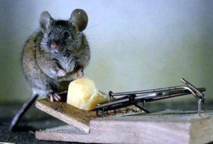 Как избавиться от крыс в квартире или в доме?